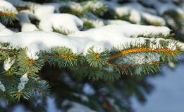Pine branches in snow Stock Photo