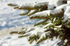 Pine branches in snow Stock Image