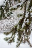 Pine branches in snow in winter forest. Freeze and snow background. Winter weather concept. Christmas concept. Winter beauty royalty free stock photos