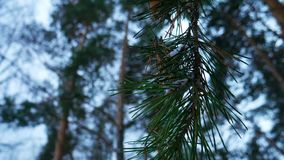 Pine branches tree in the winter forest close-up royalty free stock images