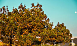 Pine. The branches of the pine trees stretching to the sky stock image