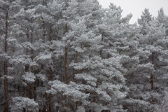 Pine branches under the snow Royalty Free Stock Images