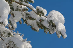 Pine branches under the snow Stock Photos