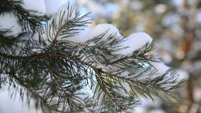 Pine branches in the winter forest stock video footage