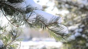 Pine branches in the winter forest stock video