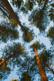 Pine branches Stock Photography
