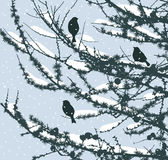 Pine branches in the winter Royalty Free Stock Image
