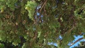 Pine branches with young green cones swaying in the wind stock video footage
