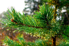 Pine brunch Royalty Free Stock Images