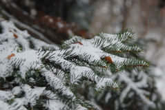 Pine brunch Royalty Free Stock Photos