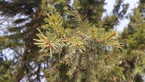Pine brunch Stock Image