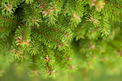 Pine brunches for background Stock Photography