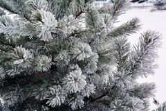 Pine brunches in hoarfrost Stock Photography
