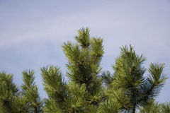 Pine Royalty Free Stock Image