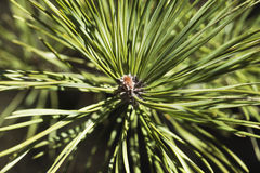 Pine bud in the spring Royalty Free Stock Photography