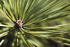 Pine bud in the spring Stock Photo