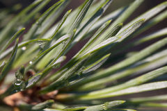 Pine bud in the spring Royalty Free Stock Photos