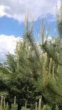 Pine bud Royalty Free Stock Image