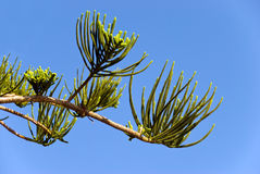 Pine buds Royalty Free Stock Photos