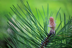 Pine buds Royalty Free Stock Images