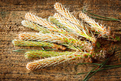 Pine buds Stock Photo
