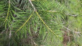 Pine. From bulgaria in jambol stock footage