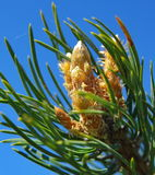 Pine burgeon. Close up of young pine burgeon on the blue sky Stock Photography