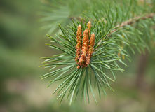 Pine burgeon Royalty Free Stock Images
