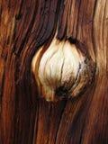 Pine burl Stock Image