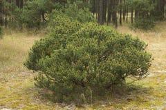 Pine bush Stock Photos