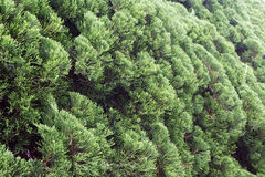 Pine Bush Royalty Free Stock Image