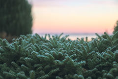 Pine bush green frozen leaves at sunrise Stock Photos