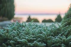 Pine bush green frozen leaves at sunrise Stock Photography