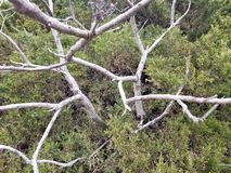 Bush & Leafless Branches. A pine bush surrounding a leafless branches royalty free stock images