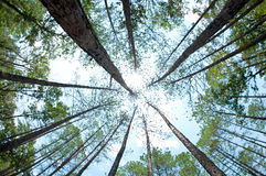 Pine Canopy in The Forest Stock Images