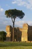 Pine in caracalla baths. Caracalla's baths landscape with roman pine against ruins Stock Photos
