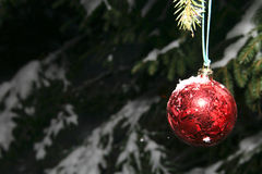 Pine and christmas ball Stock Image