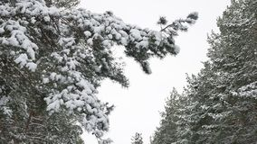 Pine christmas tree branch in the snow swinging in the wind beautiful winter landscape forest nature. Pine christmas tree branch in the snow swinging in wind stock video