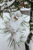 Pine christmas tree winter branch in snow Stock Photo