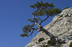 Pine on a cliff. Royalty Free Stock Photography