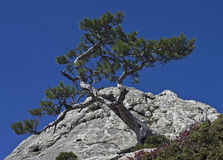 Pine on a cliff. Stock Photography