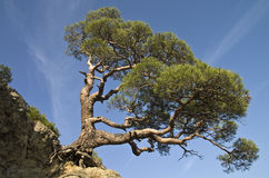 Pine on a cliff. Stock Image