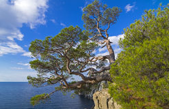 Pine on the cliff above the sea. Royalty Free Stock Photos