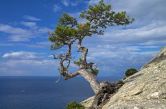 Pine on the cliff above the sea. Royalty Free Stock Photography