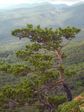 Pine on a cliff in the Crimean mountainous. Pine on a cliff in the mountainous Crimea Stock Photo