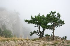 Pine on cliff in dense fog. Small pine on cliff in dense fog Royalty Free Stock Photos