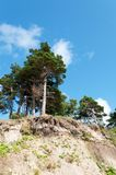 Pine on the cliff Stock Photo