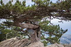 Pine on cliff with overlooking the panorama of the city, beach and black sea. Ai-petri, Crimea. Pine on cliff with overlooking the panorama of the city, beach stock images