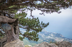 Pine on cliff with overlooking the panorama of the city, beach and black sea. Ai-petri, Crimea. Pine on cliff with overlooking the panorama of the city, beach stock photo