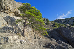 Pine on the cliff. Stock Image